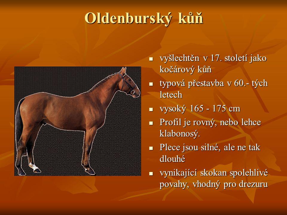 Oldenburský kůň vyšlechtěn v 17. století jako kočárový kůň vyšlechtěn v 17. století jako kočárový kůň typová přestavba v 60.- tých letech typová přest