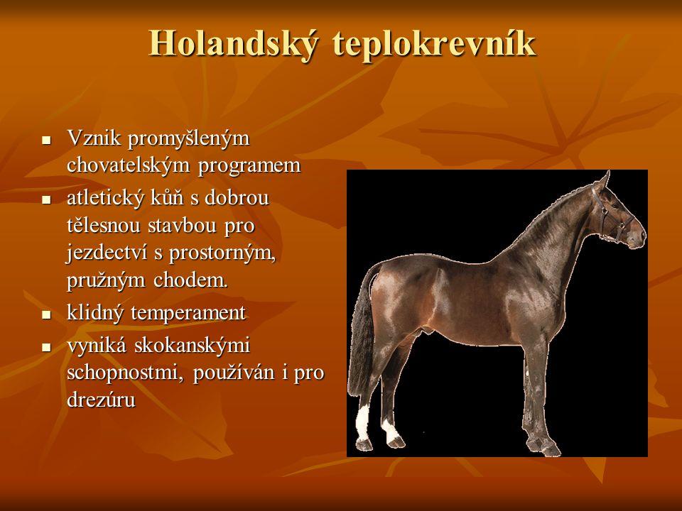 Holandský teplokrevník Vznik promyšleným chovatelským programem Vznik promyšleným chovatelským programem atletický kůň s dobrou tělesnou stavbou pro jezdectví s prostorným, pružným chodem.