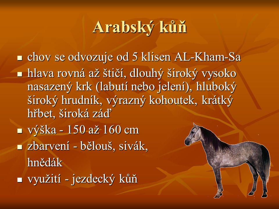 Arabský kůň chov se odvozuje od 5 klisen AL-Kham-Sa chov se odvozuje od 5 klisen AL-Kham-Sa hlava rovná až štičí, dlouhý široký vysoko nasazený krk (l