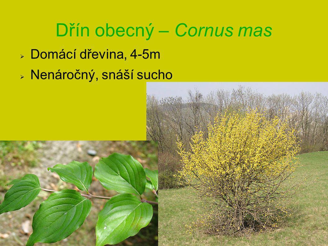 Dřín obecný – Cornus mas  Domácí dřevina, 4-5m  Nenáročný, snáší sucho