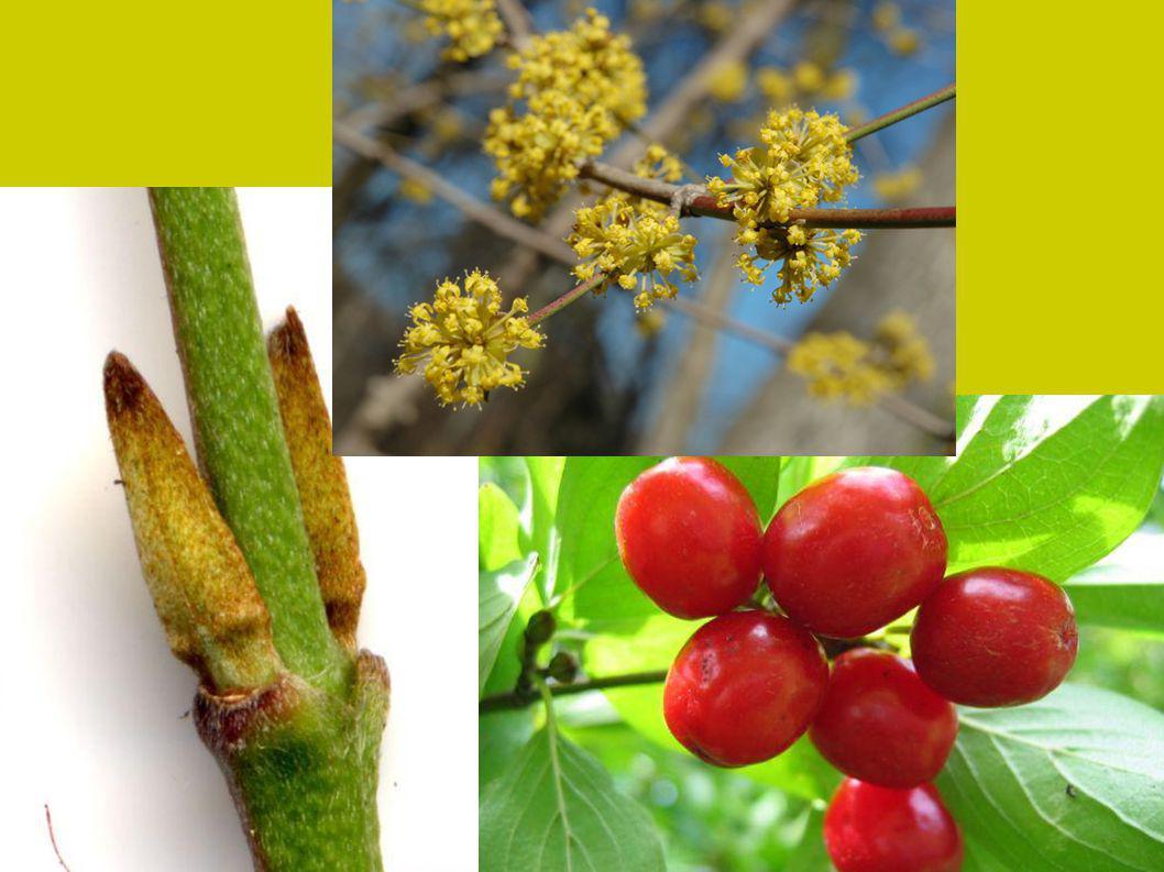 Včelařský význam Dobrý zdroj nektaru : N 0,39 C 25 % ( III ) Průměrný zdroj pylu Význam a využití  do volné krajiny i větších sadových úprav,  na stříhané živé ploty a stěny  jedlé plody – ovocné odrůdy ¨Titus , Devín