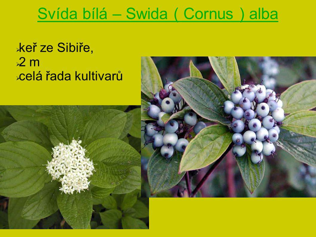 Svída bílá – Swida ( Cornus ) alba  keř ze Sibiře,  2 m  celá řada kultivarů