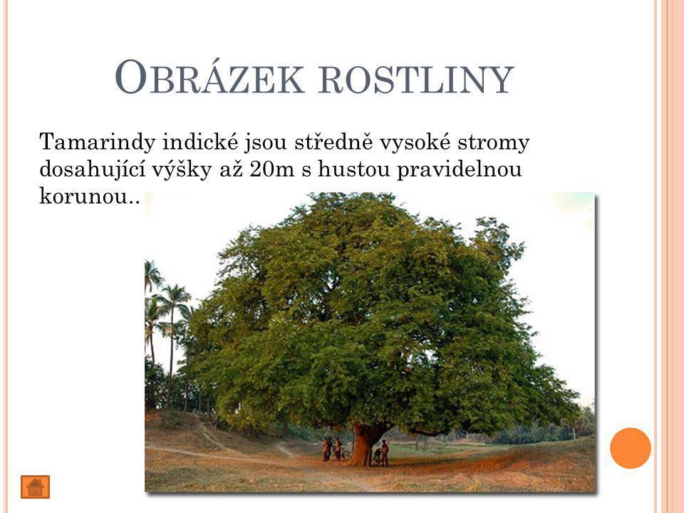 O BRÁZEK ROSTLINY Tamarindy indické jsou středně vysoké stromy dosahující výšky až 20m s hustou pravidelnou korunou..