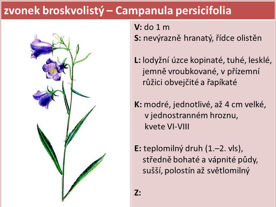 zvonek broskvolistý – Campanula persicifolia V: do 1 m S: nevýrazně hranatý, řídce olistěn L: lodyžní úzce kopinaté, tuhé, lesklé, jemně vroubkované,