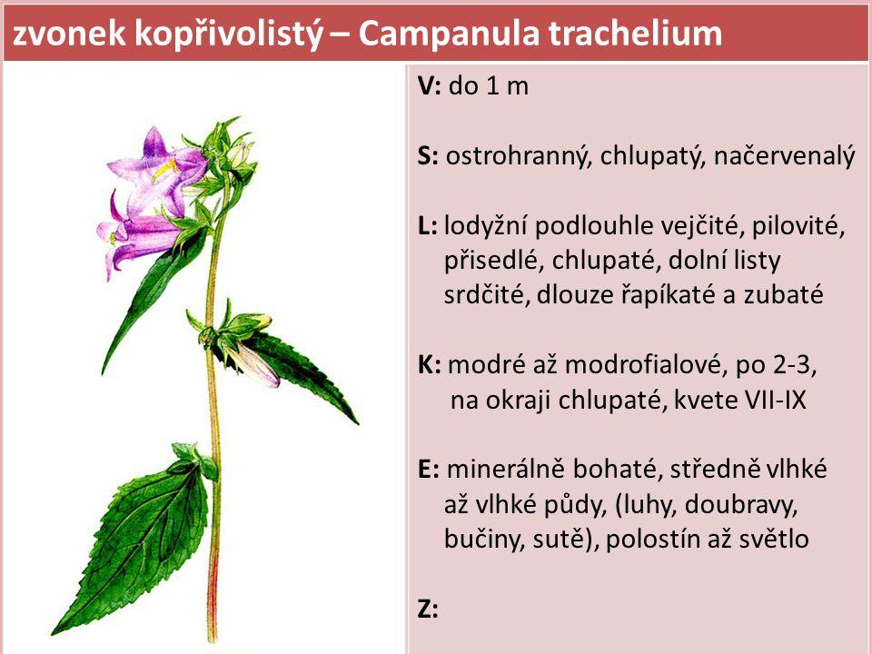 zvonek kopřivolistý – Campanula trachelium V: do 1 m S: ostrohranný, chlupatý, načervenalý L: lodyžní podlouhle vejčité, pilovité, přisedlé, chlupaté,