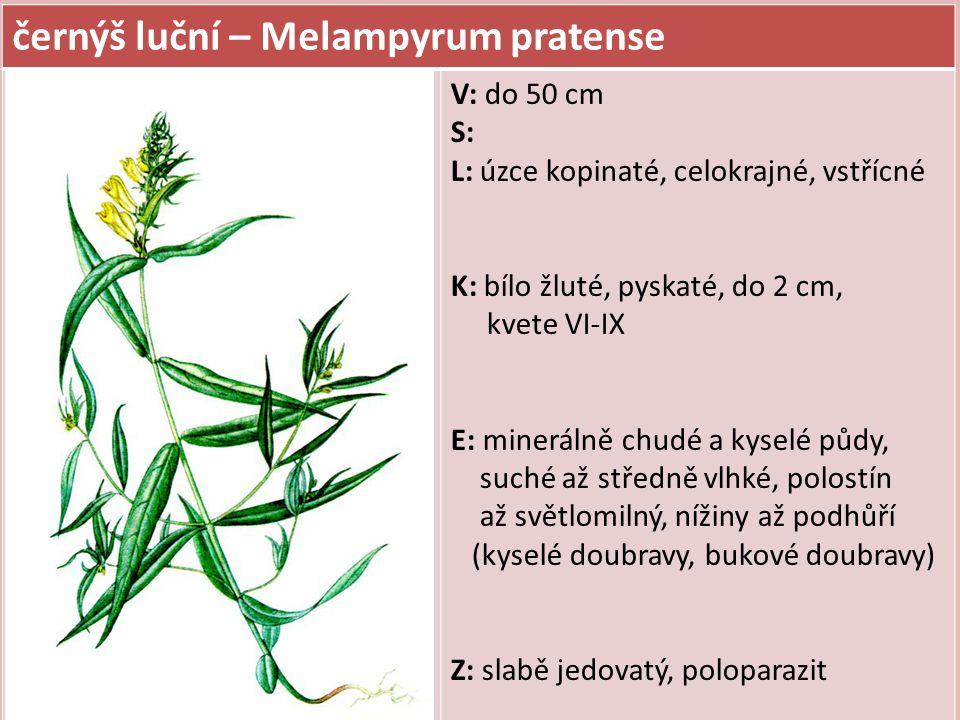 černýš luční – Melampyrum pratense V: do 50 cm S: L: úzce kopinaté, celokrajné, vstřícné K: bílo žluté, pyskaté, do 2 cm, kvete VI-IX E: minerálně chu