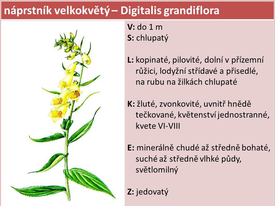 náprstník velkokvětý – Digitalis grandiflora V: do 1 m S: chlupatý L: kopinaté, pilovité, dolní v přízemní růžici, lodyžní střídavé a přisedlé, na rub