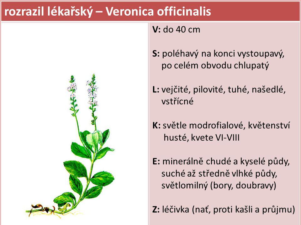rozrazil lékařský – Veronica officinalis V: do 40 cm S: poléhavý na konci vystoupavý, po celém obvodu chlupatý L: vejčité, pilovité, tuhé, našedlé, vs
