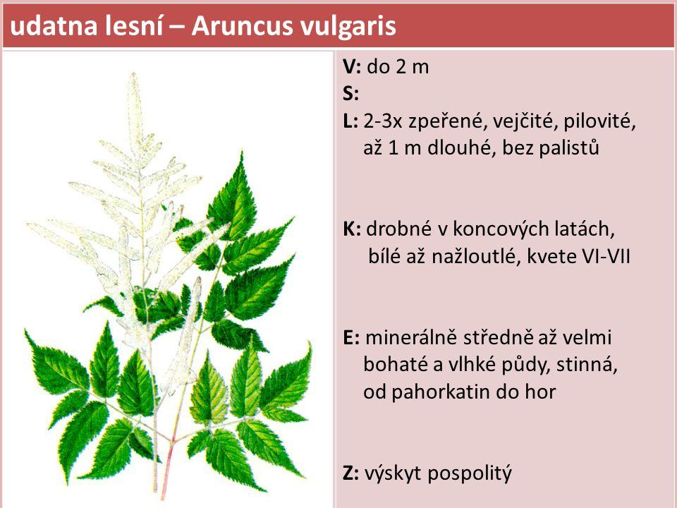 udatna lesní – Aruncus vulgaris V: do 2 m S: L: 2-3x zpeřené, vejčité, pilovité, až 1 m dlouhé, bez palistů K: drobné v koncových latách, bílé až nažl
