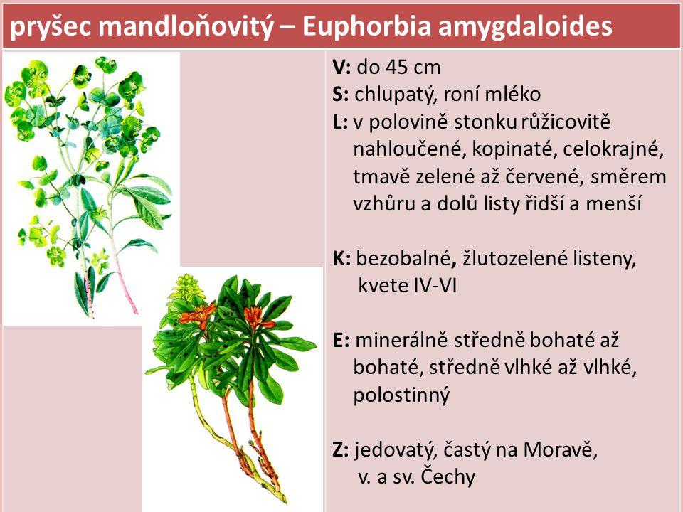 pryšec mandloňovitý – Euphorbia amygdaloides V: do 45 cm S: chlupatý, roní mléko L: v polovině stonku růžicovitě nahloučené, kopinaté, celokrajné, tma