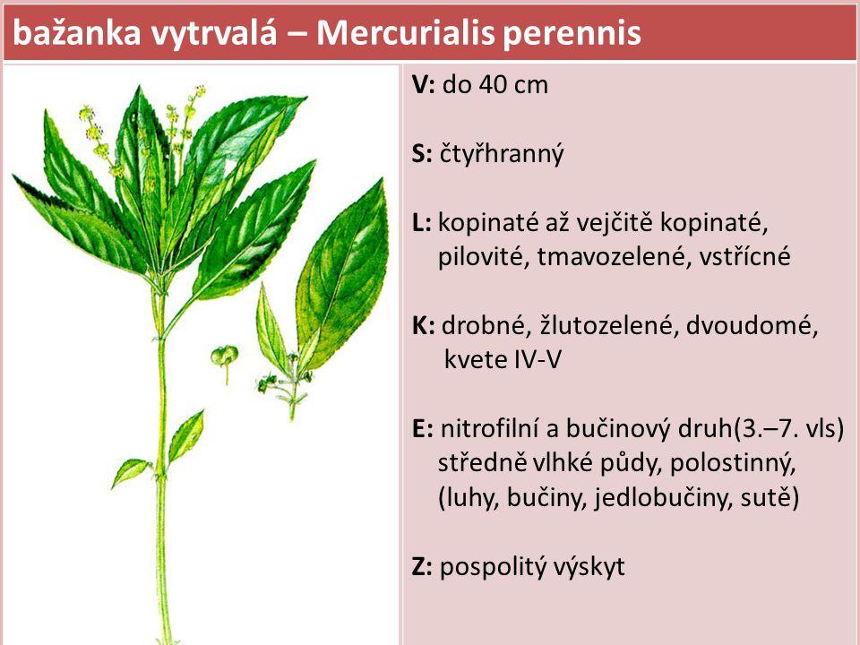 bažanka vytrvalá – Mercurialis perennis V: do 40 cm S: čtyřhranný L: kopinaté až vejčitě kopinaté, pilovité, tmavozelené, vstřícné K: drobné, žlutozel