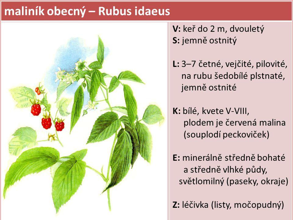 maliník obecný – Rubus idaeus V: keř do 2 m, dvouletý S: jemně ostnitý L: 3–7 četné, vejčité, pilovité, na rubu šedobílé plstnaté, jemně ostnité K: bí