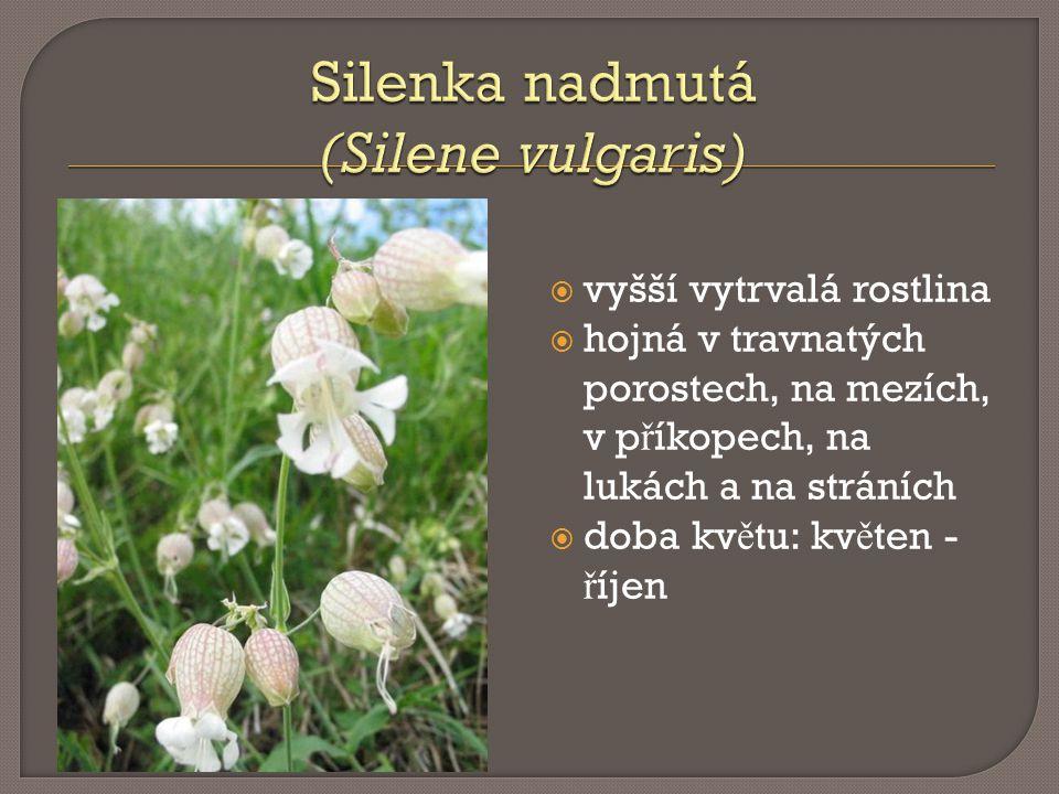  vyšší vytrvalá rostlina  hojná v travnatých porostech, na mezích, v p ř íkopech, na lukách a na stráních  doba kv ě tu: kv ě ten - ř íjen
