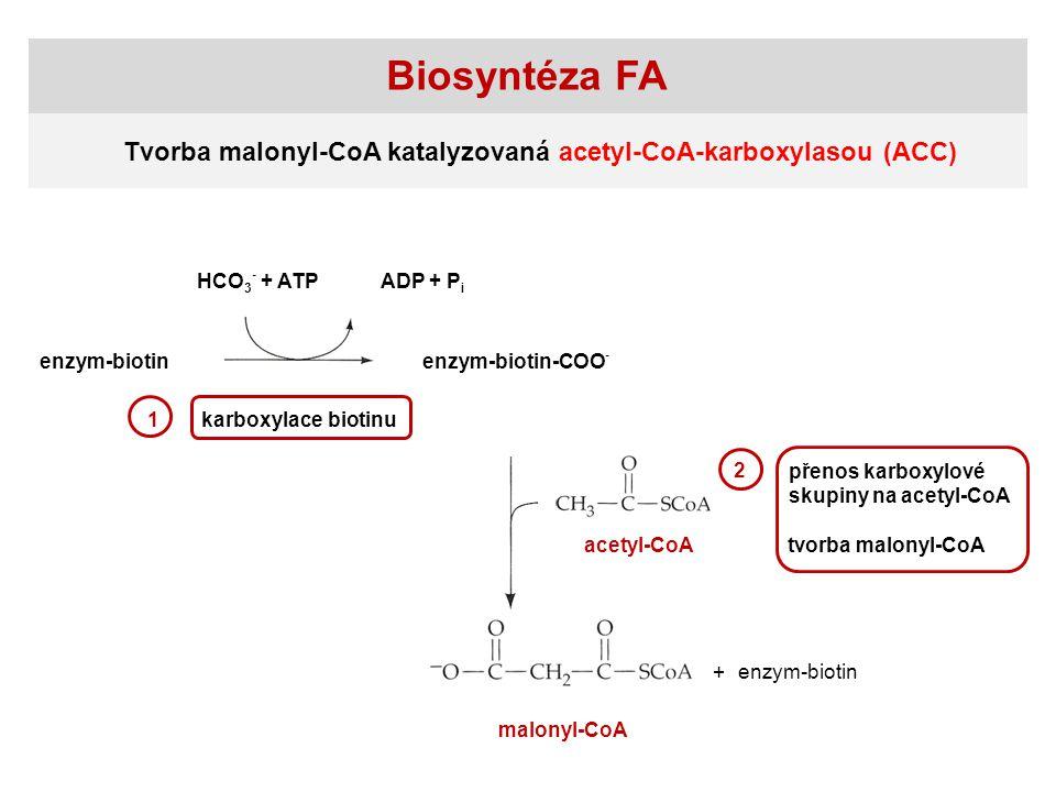 Biosyntéza FA HCO 3 - + ATPADP + P i enzym-biotinenzym-biotin-COO - enzym-biotin acetyl-CoA malonyl-CoA + 1karboxylace biotinu 2 přenos karboxylové skupiny na acetyl-CoA tvorba malonyl-CoA Tvorba malonyl-CoA katalyzovaná acetyl-CoA-karboxylasou (ACC)
