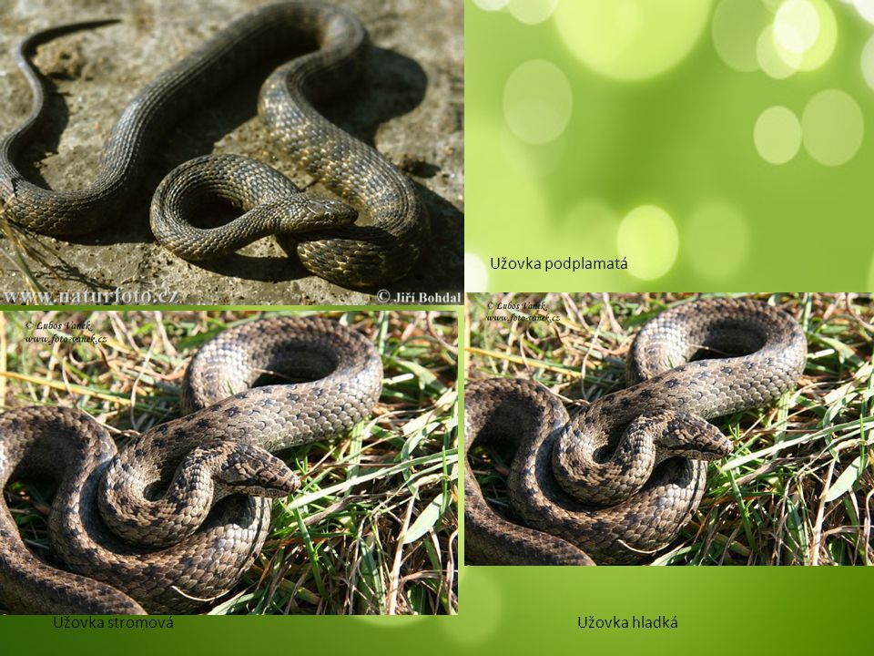 Čeleď: Korálovcovití nejjedovatější tropy a subtropy velice různorodí dělení na: korálovce a vodnáře Kobra královská Kobra indická