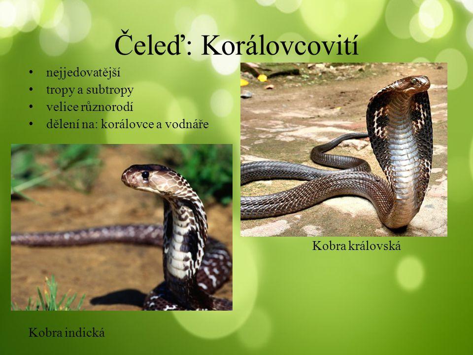 Kobra africká Smrtonoš zmijí Mamba černáVodnář