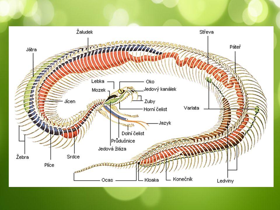 Lov loví hlavně hlodavce a ptáky pětina druhů má jedové zuby nasedající na horní čelisti na jedovou žlázu (přeměna ze slinné žlázy) škrtiči – díky mohutné síle svalů zadusí kořist dravci – při lovu vysazují čelisti z pantů  kořist polykají vcelku (kloubní spojení mezi čelistmi) polykání trvá i hodiny dlouhodobé trávení – už v tlamě působí trávicí enzymy