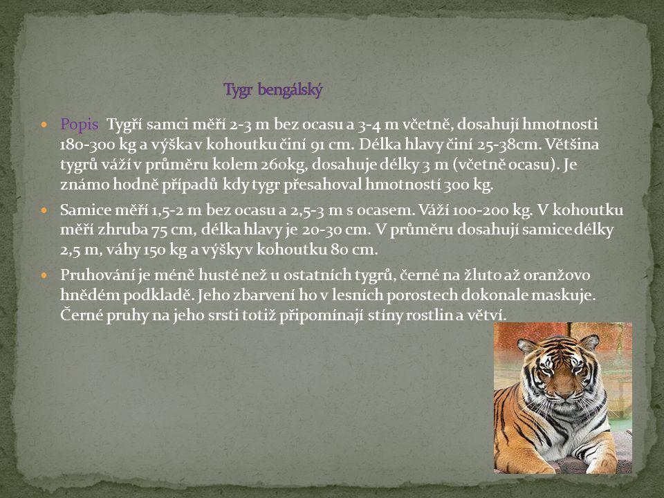 Popis Tygří samci měří 2-3 m bez ocasu a 3-4 m včetně, dosahují hmotnosti 180-300 kg a výška v kohoutku činí 91 cm. Délka hlavy činí 25-38cm. Většina