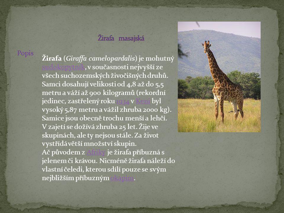 Popis Žirafa (Giraffa camelopardalis) je mohutný sudokopytník, v současnosti nejvyšší ze všech suchozemských živočišných druhů. Samci dosahují velikos
