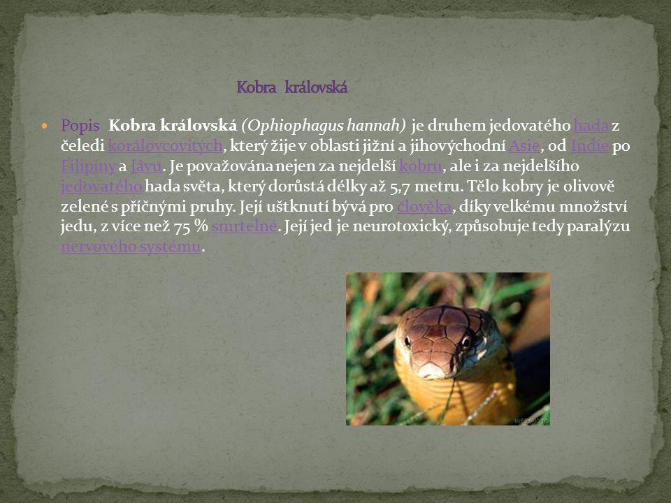 Popis Kobra královská (Ophiophagus hannah) je druhem jedovatého hada z čeledi korálovcovitých, který žije v oblasti jižní a jihovýchodní Asie, od Indi