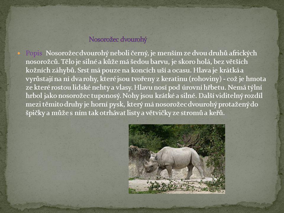 Popis Nosorožec dvourohý neboli černý, je menším ze dvou druhů afrických nosorožců. Tělo je silné a kůže má šedou barvu, je skoro holá, bez větších ko