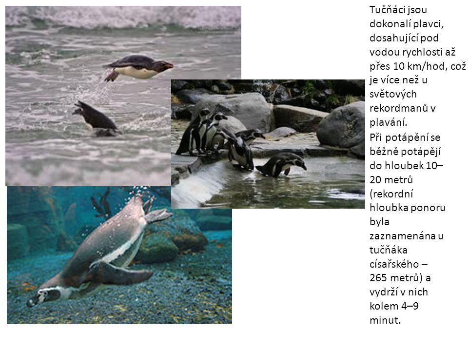 Při potápění se běžně potápějí do hloubek 10– 20 metrů (rekordní hloubka ponoru byla zaznamenána u tučňáka císařského – 265 metrů) a vydrží v nich kol