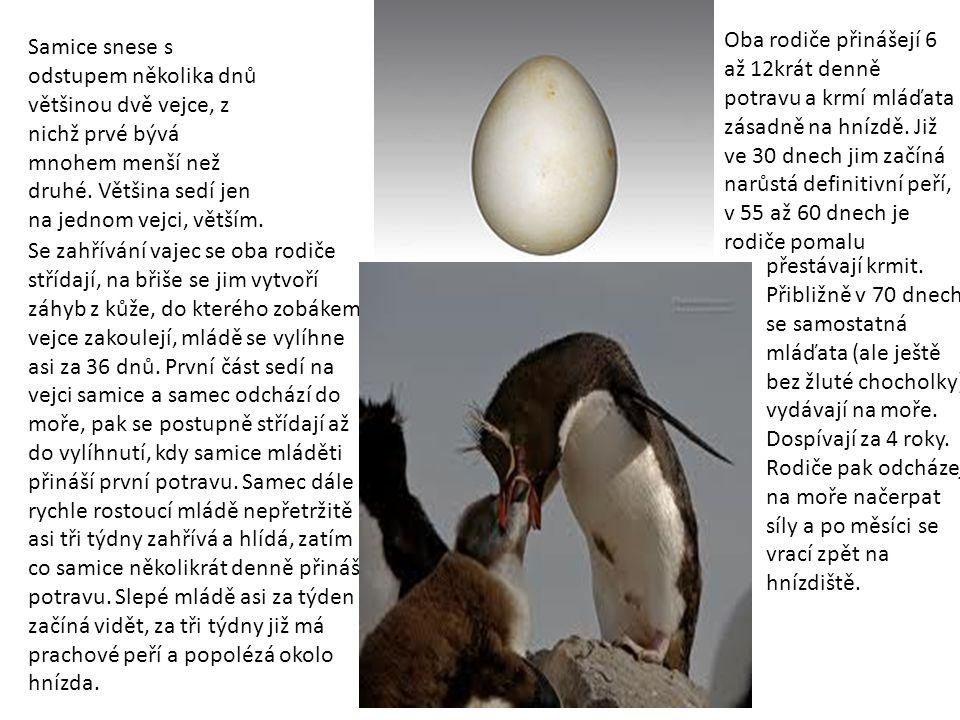 Samice snese s odstupem několika dnů většinou dvě vejce, z nichž prvé bývá mnohem menší než druhé. Většina sedí jen na jednom vejci, větším. Se zahřív