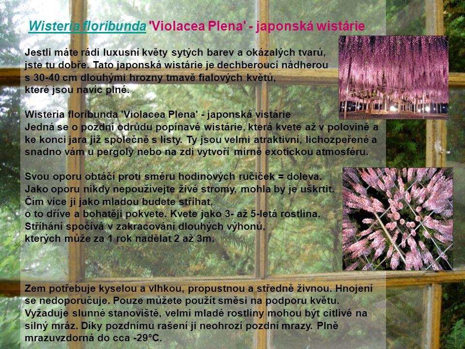 Wisteria floribunda Violacea Plena - japonská wistárieWisteria floribunda Jestli máte rádi luxusní květy sytých barev a okázalých tvarů, jste tu dobře.