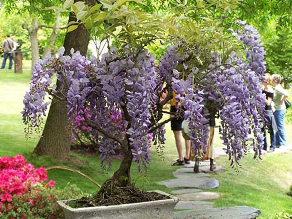Wisteria floribunda 'Violacea Plena' - japonská wistárieWisteria floribunda Jestli máte rádi luxusní květy sytých barev a okázalých tvarů, jste tu dob