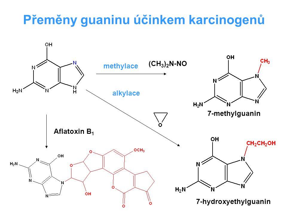 Aflatoxin B 1 (CH 3 ) 2 N-NO Přeměny guaninu účinkem karcinogenů methylace alkylace 7-methylguanin 7-hydroxyethylguanin