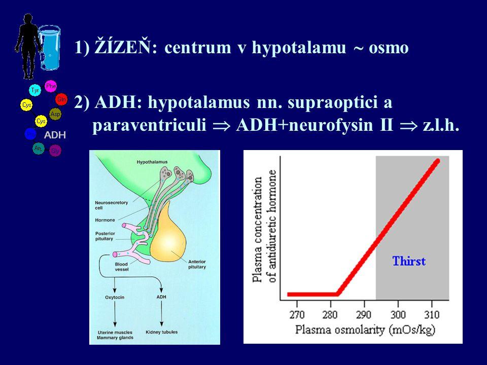 2) ADH: hypotalamus nn. supraoptici a paraventriculi  ADH+neurofysin II  z.l.h.
