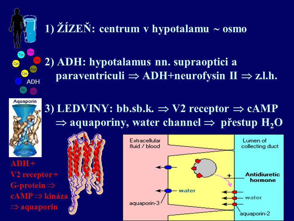 1) ŽÍZEŇ: centrum v hypotalamu  osmo 2) ADH: hypotalamus nn. supraoptici a paraventriculi  ADH+neurofysin II  z.l.h. 3) LEDVINY: bb.sb.k.  V2 rece