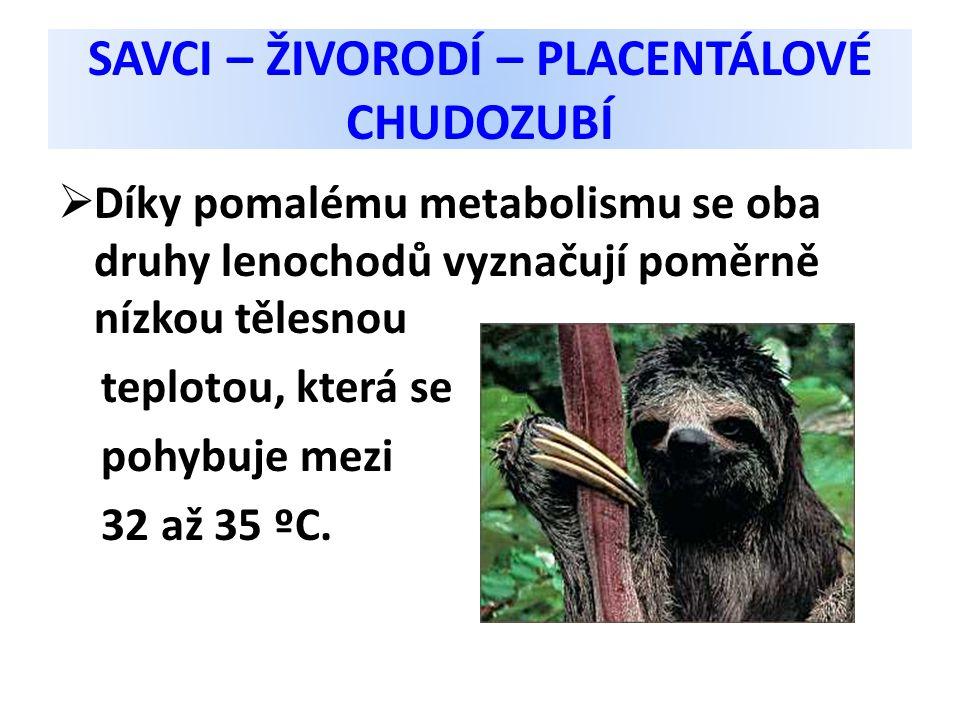 SAVCI – ŽIVORODÍ – PLACENTÁLOVÉ CHUDOZUBÍ  Díky pomalému metabolismu se oba druhy lenochodů vyznačují poměrně nízkou tělesnou teplotou, která se pohy