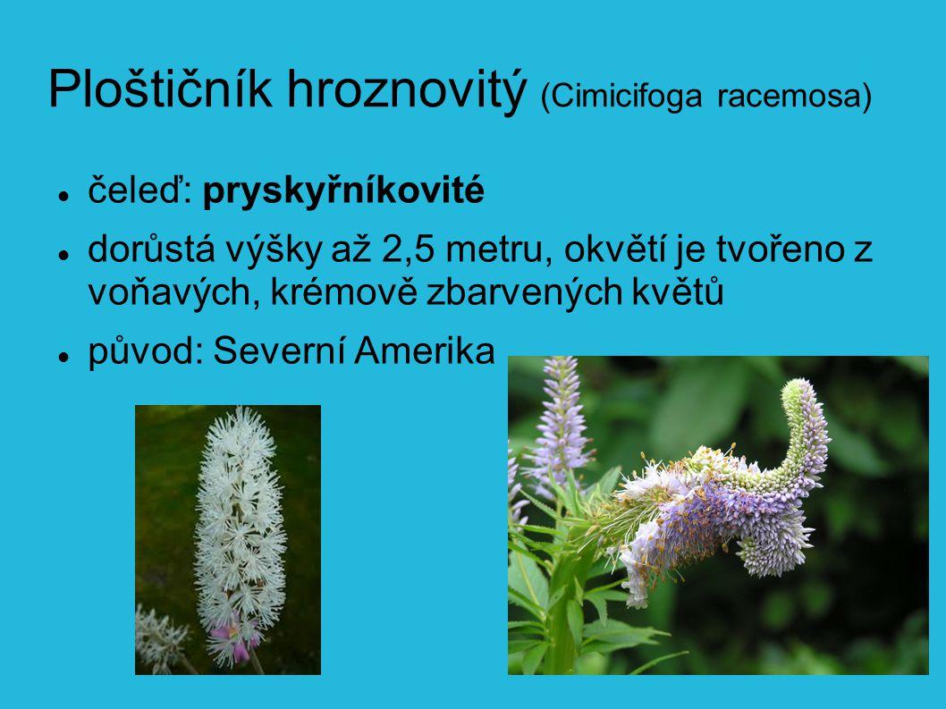 Ploštičník hroznovitý (Cimicifoga racemosa) čeleď: pryskyřníkovité dorůstá výšky až 2,5 metru, okvětí je tvořeno z voňavých, krémově zbarvených květů původ: Severní Amerika