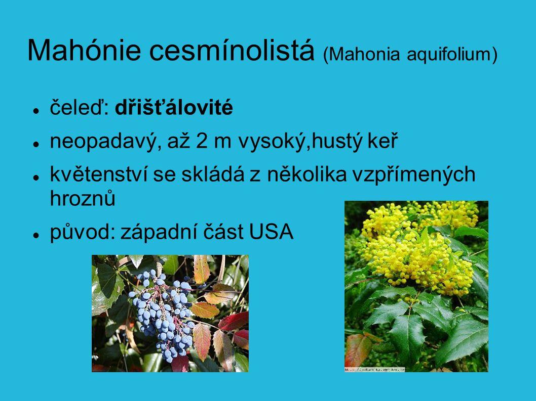 Mahónie cesmínolistá (Mahonia aquifolium) čeleď: dřišťálovité neopadavý, až 2 m vysoký,hustý keř květenství se skládá z několika vzpřímených hroznů původ: západní část USA