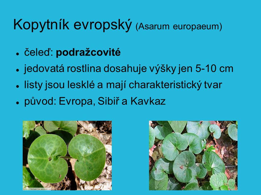 Kopytník evropský (Asarum europaeum) čeleď: podražcovité jedovatá rostlina dosahuje výšky jen 5-10 cm listy jsou lesklé a mají charakteristický tvar původ: Evropa, Sibiř a Kavkaz