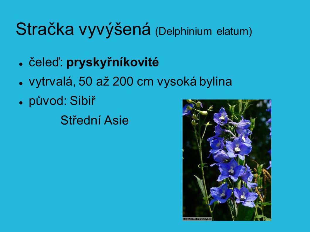 Stračka vyvýšená (Delphinium elatum) čeleď: pryskyřníkovité vytrvalá, 50 až 200 cm vysoká bylina původ: Sibiř Střední Asie