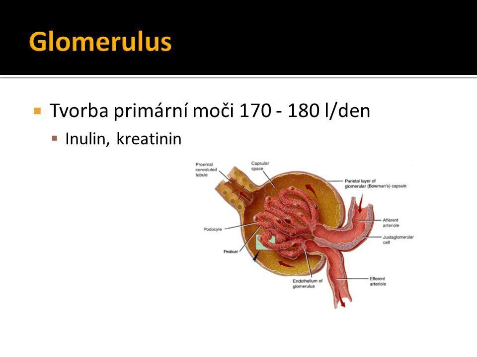  Tvorba primární moči 170 - 180 l/den  Inulin, kreatinin