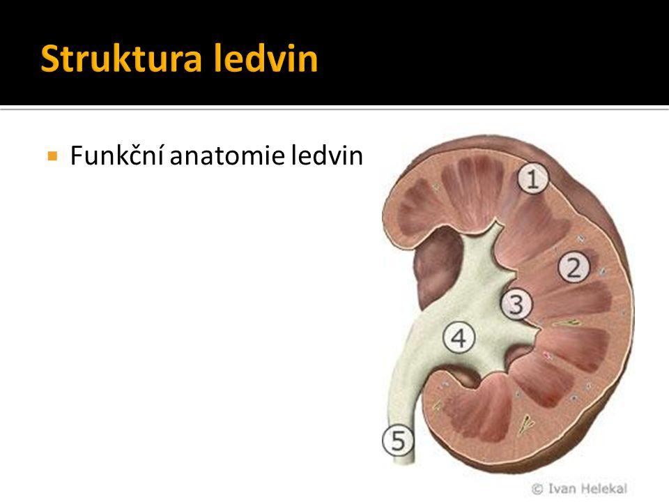  Funkční anatomie ledvin