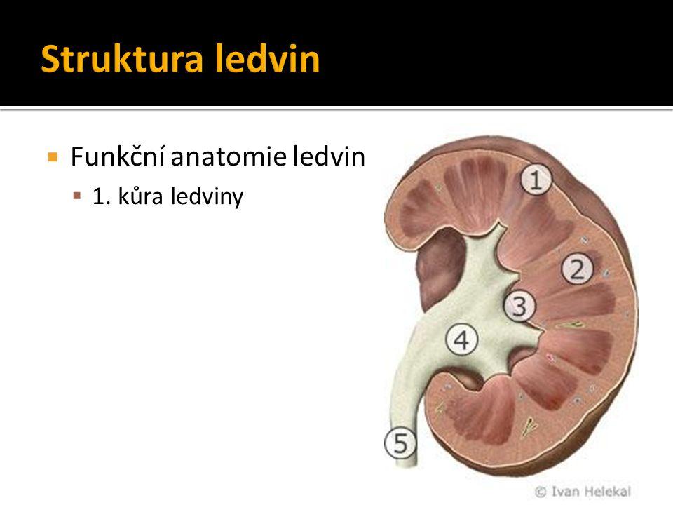  Funkční anatomie ledvin  1. kůra ledviny  2. dřeň ledviny