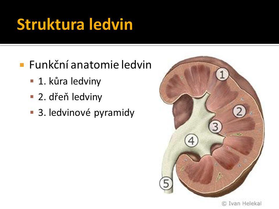  Funkční anatomie ledvin  1.kůra ledviny  2. dřeň ledviny  3.
