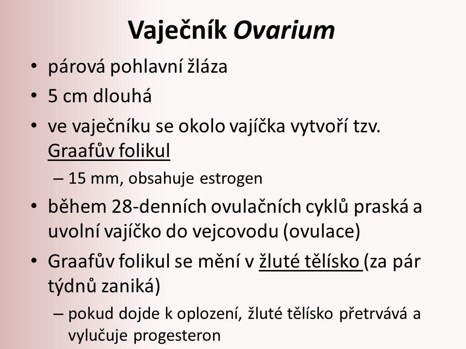 Vaječník Ovarium obr.