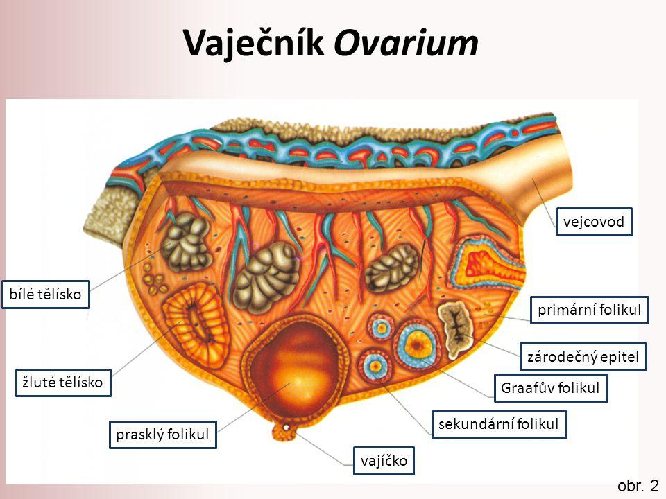 Vaječník Ovarium obr. 2 žluté tělísko prasklý folikul vajíčko sekundární folikul Graafův folikul zárodečný epitel primární folikul vejcovod bílé tělís