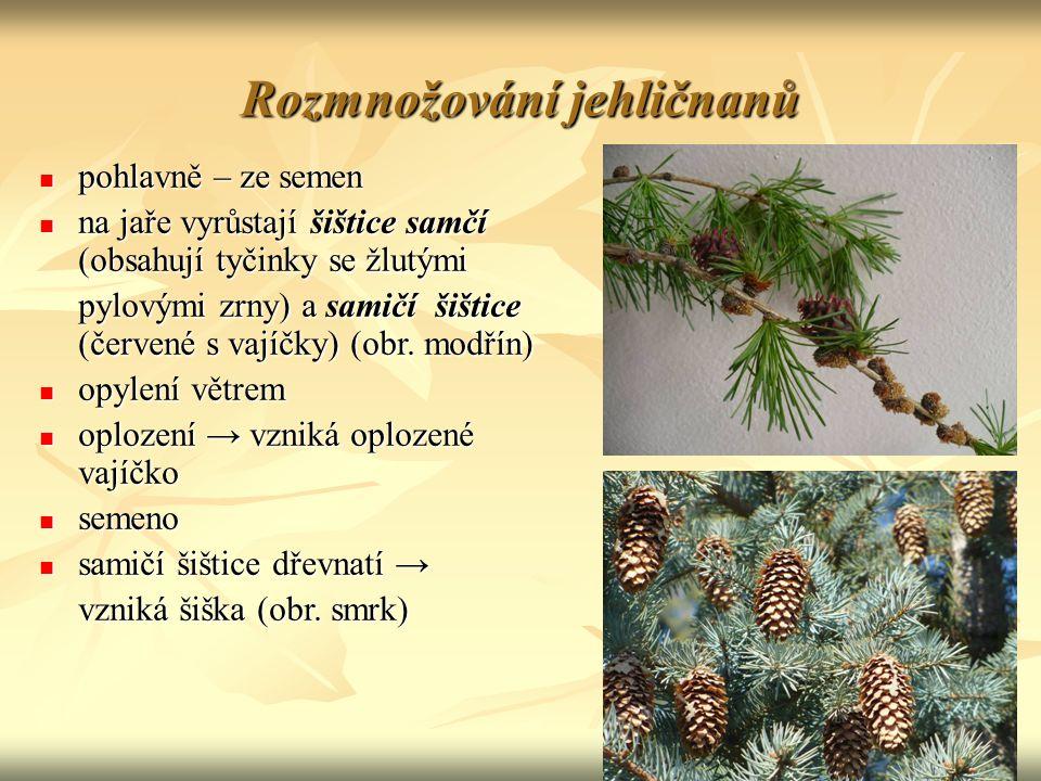 Rozmnožování jehličnanů pohlavně – ze semen pohlavně – ze semen na jaře vyrůstají šištice samčí (obsahují tyčinky se žlutými na jaře vyrůstají šištice samčí (obsahují tyčinky se žlutými pylovými zrny) a samičí šištice (červené s vajíčky) (obr.