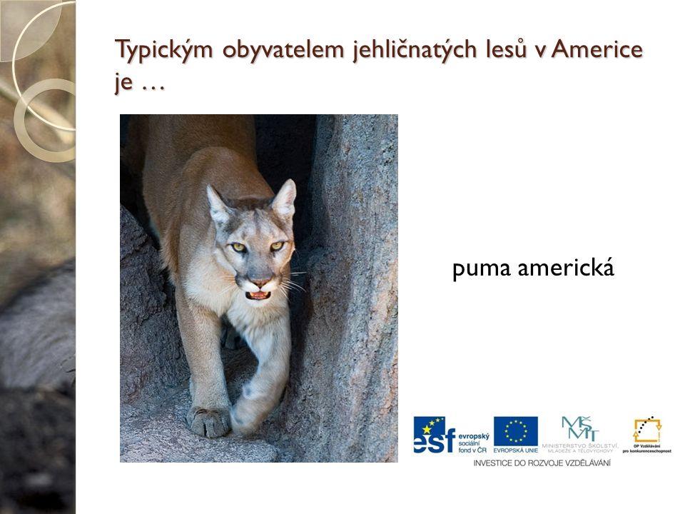 Typickým obyvatelem jehličnatých lesů v Americe je … puma americká