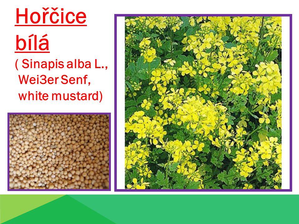 Hořčice bílá ( Sinapis alba L., Wei3er Senf, white mustard)