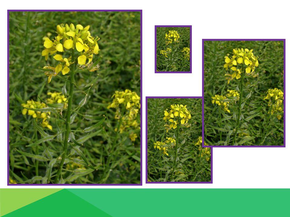 Hospodářský význam 1.Konzervárenský průmysl výroba konzumních hořčic semena - přídavek sterilované zeleniny 2.Farmaceutický průmysl: výroba mýdel 3.Zelené hnojení