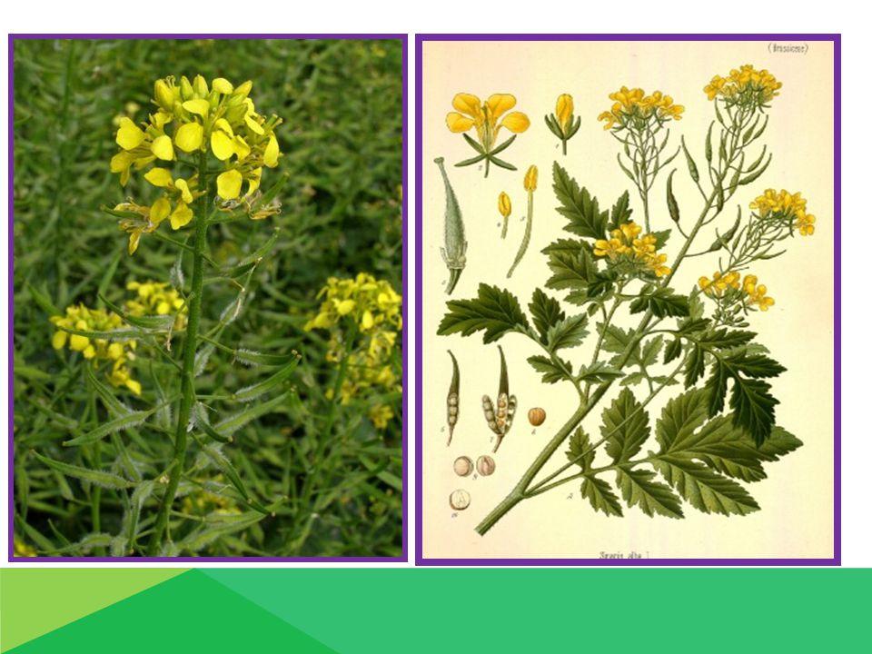 Nároky na podnebí a půdu  oblasti: řepařské nižší bramborářské oblasti  na půdu hlinité až hlinitopísčité pH - nad 6,0 OP  nejvhodnější předplodina: okopaniny (cukrovka a brambory ) obilovina NIKDY: po řepce ( zaplevelení ze semen řepky - velký výdrol!!!!!!) Výživa a hnojení :  organické hnojení – hnůj - hnojení raději k předplodině  PK - předzásobní + hnůj N – jaro, dávka 70 – 80 kg.ha-1