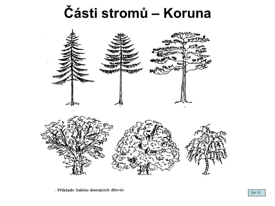 Části stromů – Koruna Obr.10