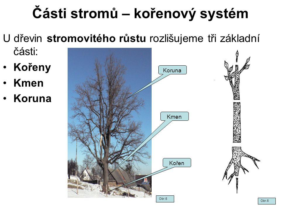 Části stromů – kořenový systém U dřevin stromovitého růstu rozlišujeme tři základní části: Kořeny Kmen Koruna Kmen Kořen Obr.5 Obr.6